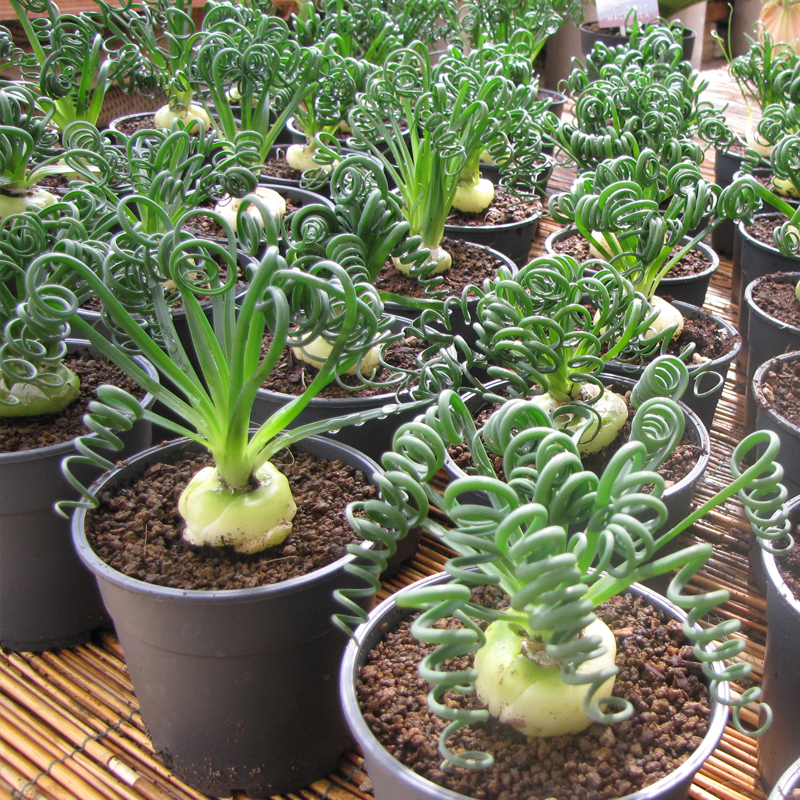 Il pungivendolo cactus cactacee piante grasse for Piante rare